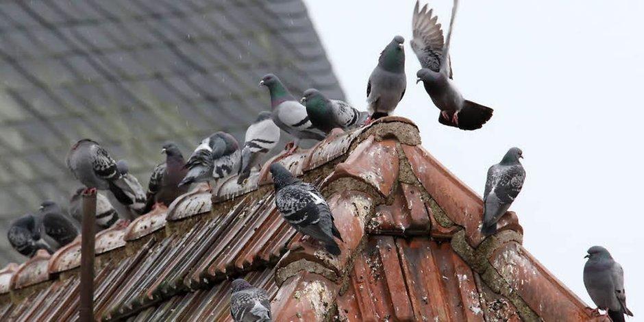 tauben-auf-dach