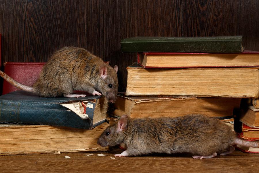 ratten und mäuse bekämpfen